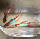 Japan Blue with Red double sword guppy 1 pair + extras