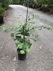Trees Ginkgo biloba Kohout Pendula Very Rare All leaves different