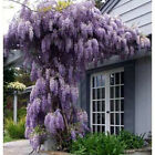 Blue Moon Wisteria Wisteria Plant Vine Live Plant Great for Bonsai