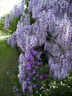 Royal Purple Wisteria Very Frangrant Wisteria Live Plant Great for Bonsai