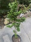 15 year old Hinoki Cypress bonsai master needs to take it to next step