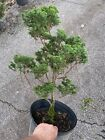 15 year old Collection of Bonsai Lite Hinoki Cypresses Need Bonsai Expertise