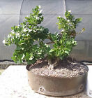 Bonsai tree Natal Plum Prebonsai Flowering Bonsai Beautiful trunk line