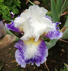 Tall Bearded Iris BLUEBERRY PARFAIT Perennial Plant Rhizome