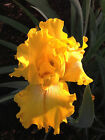 Tall Bearded Iris DAZZLE TIME yellow space age horns plant rhizome perennial
