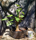 Bonsai Tree Red Mulberry Morus rubra Prebonsai Field Grown 2