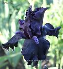 Tall Bearded Iris Spades Rhizome Purple Black Velvety Perennial Pre-Sale Award