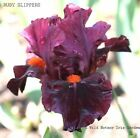Intermediate Bearded Iris Ruby Slippers Rhizome Claret Wine Black Awards PreSale