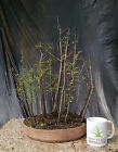 Bonsai tree Bald Cypress Forest Planting 15 tree Forest Well established