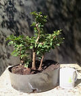 Bonsai Tree Chinese Elm Ulmus parvifolia  Five Tree Forest Well Composed