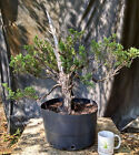 Bonsai Tree Southern Redcedar Advanced Prebonsai Carved and Root pruned