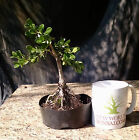 Bonsai Tree Japanese Boxwood Bonsai tree Mame Bonsai Wired 1