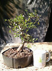 Bonsai Tree Chinese Elm Ulmus parvifolia  Good Quality Prebonsai Nice Nebari