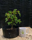 Bonsai Trident Maple Acer buergerianum Prebonsai No Reserve Auction