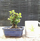 Topical Bonsai Singapore Holly Mame Bonsai A+ Trunk Line and Branching