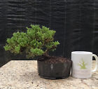 Bonsai Green Mound Juniper Procumbens Nana Prebonsai Quality Tree 1