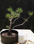 Bonsai Tree Japanese Black Pine Pinus thunbergii Prebonsai A+ Branching