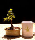 Bonsai Tree Japanese Boxwood Bonsai tree Mame Bonsai Finished Tree
