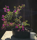 Bonsai Tree Bougainvillea spectabilis Purple Blooms Awesome Character + Trunk