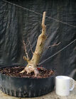 Bonsai tree Crape Myrtle Pink Flowers Advanced Prebonsai Awesome Trunk