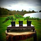 Create Your Own Bonsai Includes 3 Windswept Juniper Pre Bonsai Trees Outdoor