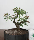 Bonsai Tree Flowering Rose Bonsai Super Quality Prebonsai Well trained