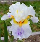 Tall Bearded Iris PAINTER'S TOUCH Rhizome White Yellow Violet Perennial PRE-SALE