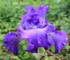 Tall Bearded Iris GOT THE POWER Rhizome Deep Sea Blue Self '13 Aitken PRE-SALE