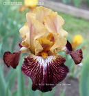 Tall Bearded Iris CHEROKEE SHUFFLER Yellow Red Rhizome Fragrant '13 PRE-SALE