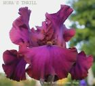 Tall Bearded Iris NORA'S THRILL Magenta Violet Red Bronze Rhizome PRE SALE