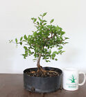 Bonsai tree Dwarf Barbados Cherry Flowering+Fruiting Bonsai Prebonsai