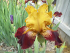 1 Red Canyon Glow Tall Bearded Iris Rhizome