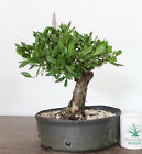 Tropical Bonsai Buttonwood Superior Prebonsai Large Trunk Awesome Movement