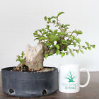Flowering Bonsai Crape Myrtle Prebonsai Large trunk No Reserve Auction 1