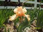 1 Porcelain Ballet Tall Bearded Iris Rhizome
