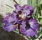 1 Purple Pepper Tall Bearded Iris Rhizome