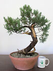 Bonsai Tree Parsoni Juniper Super Prebonsai Amazing Live Vein + Deadwood