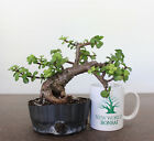 Dwarf Jade Bonsai No reserve Auction Well done tree Perfect indoor bonsai 1