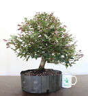 Bonsai Tree Loropetalum Chinese Witch Hazel Beautiful Leaf Color Flowering