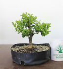 Bonsai Tree Japanese Boxwood Bonsai tree Beautiful Base Large Trunk 1