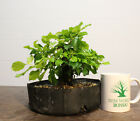 Live Bonsai Tree Gold Mound Beautiful Color Awesome Taper and Nebari Shohin