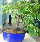 Flowering Chinese Quince Bonsai