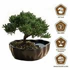 Juniper Live Bonsai Tree Zen Reflections Ornamental Japanese Pot Indoor Outdoor