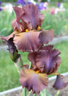 Tall Bearded Iris QUIK Rhizome Milk Chocolate Lavender Perennial '11 PRESALE-USA