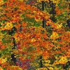 Autumn Trees Cotton Fabric Timeless Treasures Fall Foliage By the Yard Bfab