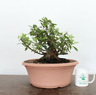 Bonsai Tree Flowering Formosa Azalea Nice Taper Awesome Trunk Purple Flowers