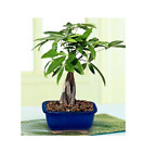 Money Tree Bonsai with Ceramic Pot 10 12 inch Live Plant Feng Shui Masters