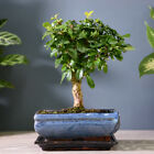 Indoor Bonsai Tree in Ceramic Pot and Saucer Indoor House Plants 3 Varieties T