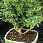 Hawaiian Umbrella Bonsai Live Indoor Tree 3 Years Old 7 10 Tall w Ceramic Pot