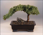 Japanese Juniper Tree Bonsai Indoor Live House Plant 6 in Container Pot w Panda